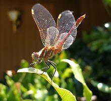 Dragonfly Pride by Sheryl Solano