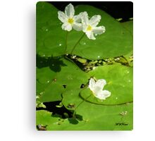 Water Pads Canvas Print