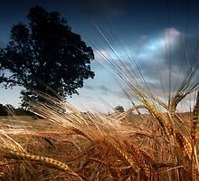 Wind through the barleyfield by colin campbell