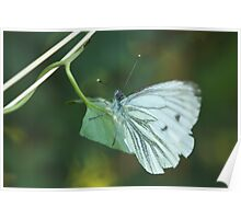Green Veined White Butterfly Poster