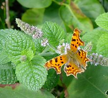A Comma Butterfly by dougie1