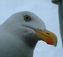 Hi Gull by Pastis