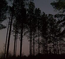 beautiful row of pines by Mallory Harris