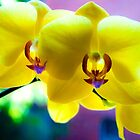 Orchids by ronsphotos