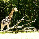 giraffe with branches by Jamie Tucker