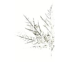 Mapple Leaf in White Photographic Print