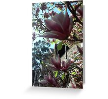 Magnolias in Spring against a blue sky Greeting Card