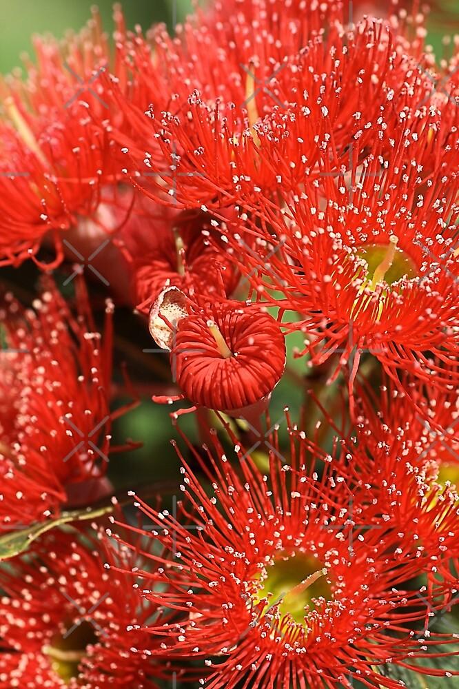 Red Eucalyptus flowers by Joy Watson