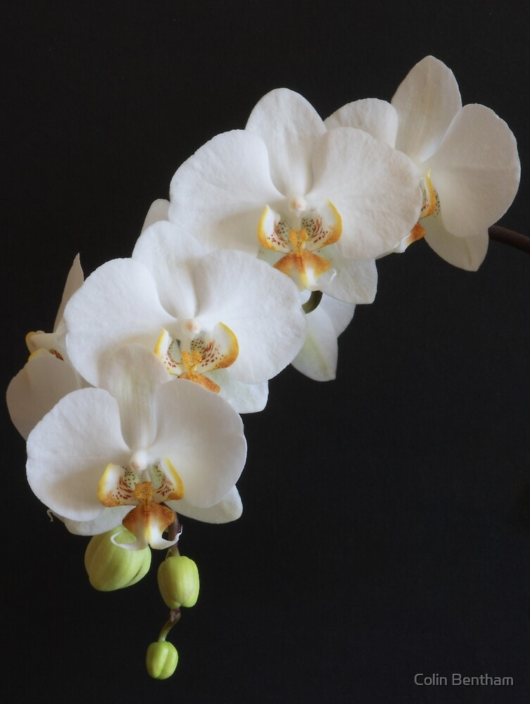 Orchid by Colin Bentham
