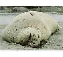 Southern Elephant Seal    Photographic Print