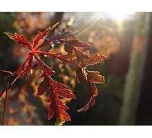 Early Morning Maple Photographic Print
