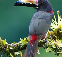 Collared Aracari - Costa Rica by Jim Cumming