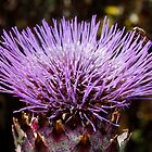 Thistle Head by AnnDixon