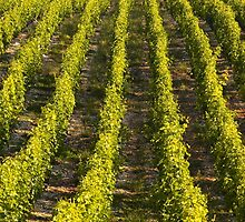 Sancerre Vineyards by Julian Elliott