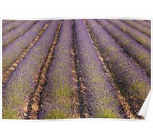 Provencal Lavender Poster