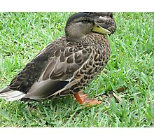 chillin like a duck Photographic Print