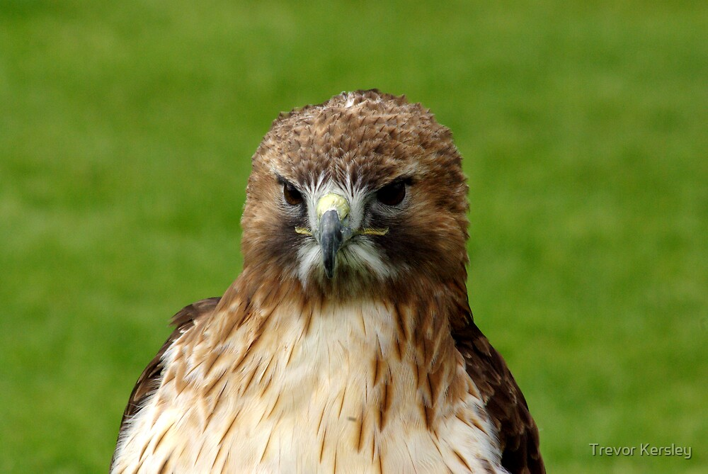 Bird of Prey by Trevor Kersley
