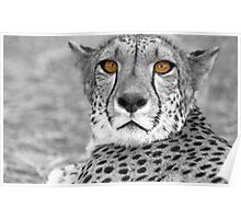Cheetah eyes Poster