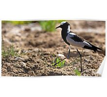 Blacksmith Plover striding out Poster