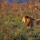 King of the Savannah by Wild at Heart Namibia