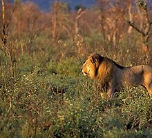 King of the Savannah by Wild at Heart Namibia