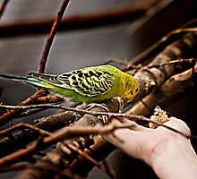 Parakeet Considering by carlhirst