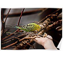 Parakeet Considering Poster