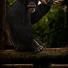 Chimpanzee Gazing by carlhirst