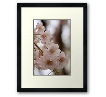 Weeping cherry tree blossoms - South Haven, MI Framed Print