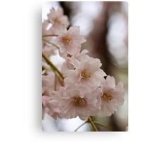 Weeping cherry tree blossoms - South Haven, MI Canvas Print