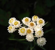White Flowers by Pamela O'Pecko