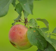 Summer Apple by DiEtte Henderson