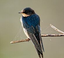A Tree Swallow by David Friederich