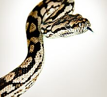 Inland Carpet or Murray Darling Python [Morelia spilota metcalfei] by Shannon Benson