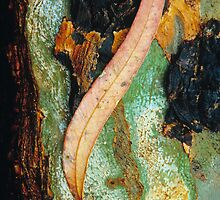 'River Red Gum' leaf and bark. by Ern Mainka