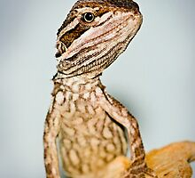Dwarf or Downs Bearded Dragon [Pogona henrylawsoni] by Shannon Benson