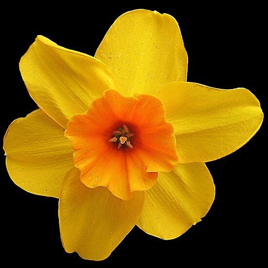 Yellow daffodil (Narcissus) by Gili Orr