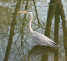 Waterbird in Austria by Kymbo