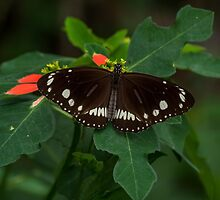 Common Crow Butterfly - Open Wings by JLOPhotography