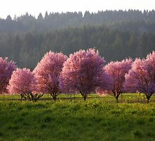 Blossoms in the Fields..*Spring is Coming* by aussiedi