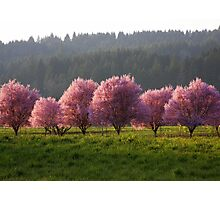 Blossoms in the Fields..*Spring is Coming* Photographic Print