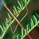 Walking Stick Bug by RLHall