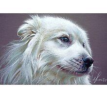 Samoyed Photographic Print