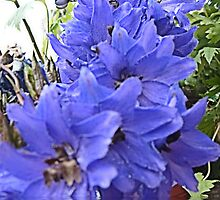 Delphiniums flooded by hilarydougill
