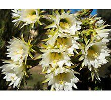 Large White Cactus Flowers Photographic Print