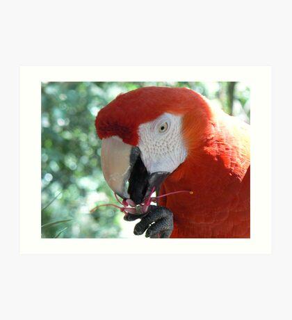 Parrot eating flower Art Print