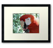 Parrot eating flower Framed Print