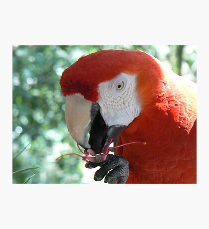 Parrot eating flower Photographic Print