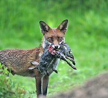 Hungry Fox by ianrose82