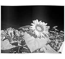 Infrared sunflowers Poster